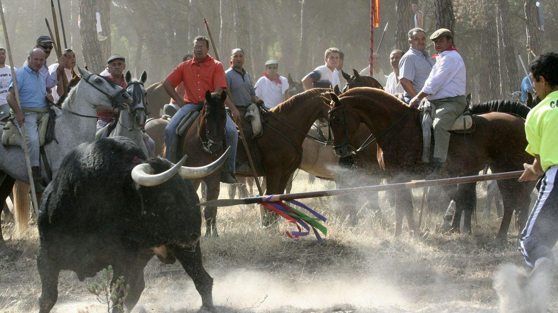 Foto: Un astado es alanceado en un festejo del Toro de la Vega. (EFE)