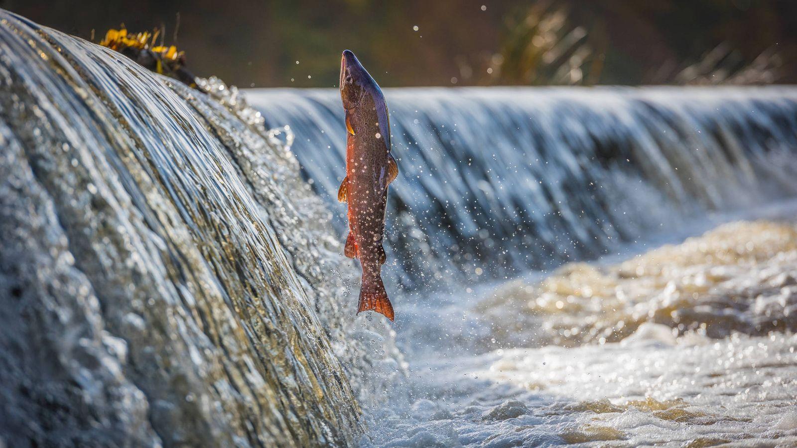 Foto: Salmon remontando un río (Reuters)