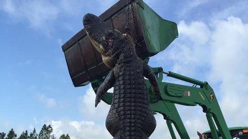 Cazan a un cocodrilo de 4,5 metros en una granja de Florida, en Estados Unidos