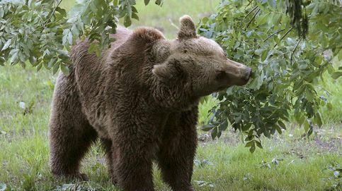 Un oso ataca a una mujer de 75 años en Asturias y trata de llevársela a rastras