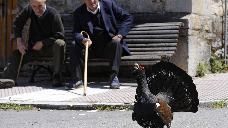El urogallo se delata y muere: será el próximo icono de la fauna ibérica en extinguirse