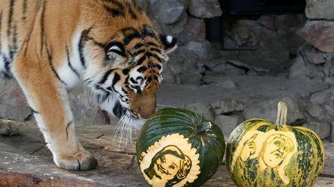Un pez, un oso, un tigre y un mono 'deciden' el inquilino a la Casa Blanca