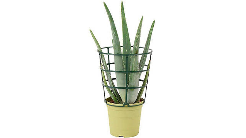 Aloe Vera en maceta de 13 cm