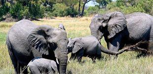 Post de Botsuana levanta la prohibición de cazar elefantes por los conflictos que generan