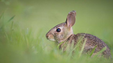 El conejo, en peligro de extinción en España