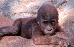 Nace una cría de gorila en el Zoo Aquarium de Madrid