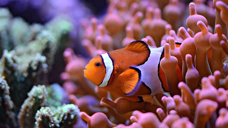 Un pez payaso en un arrecife de coral. Foto: Unsplash