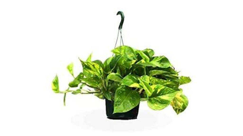 Plantas de interior poto para colgar