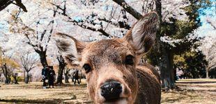 Post de Muerte en Japón: los 'turísticos' ciervos de Nara están falleciendo por comer plástico