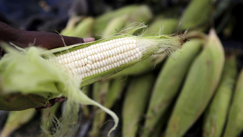 Foto: Mazorca de maíz (Foto: Reuters)