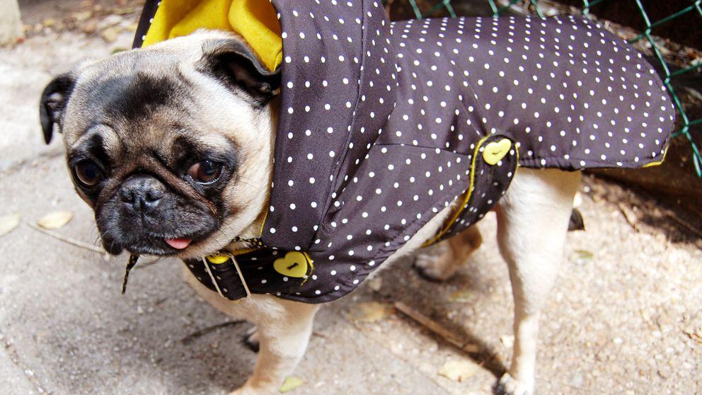 Por qué tu perro no agradece (en absoluto) que le pongas un abrigo