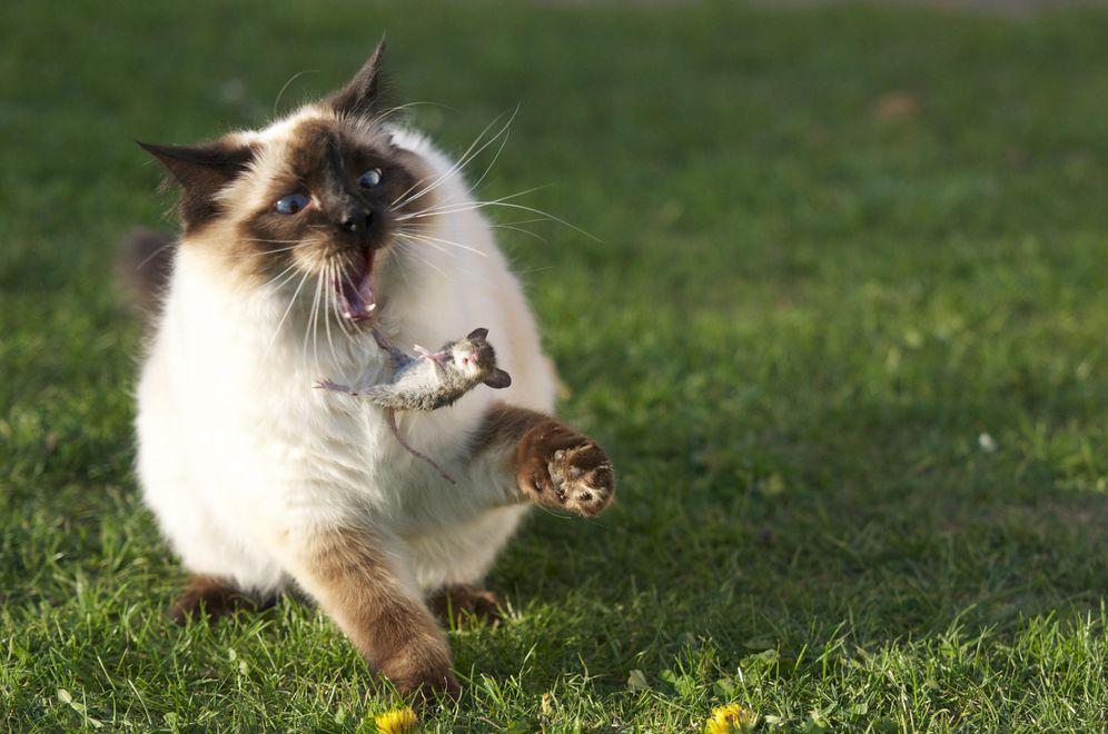 Animales: Los dueños de los gatos no admiten que viven con un gran ...