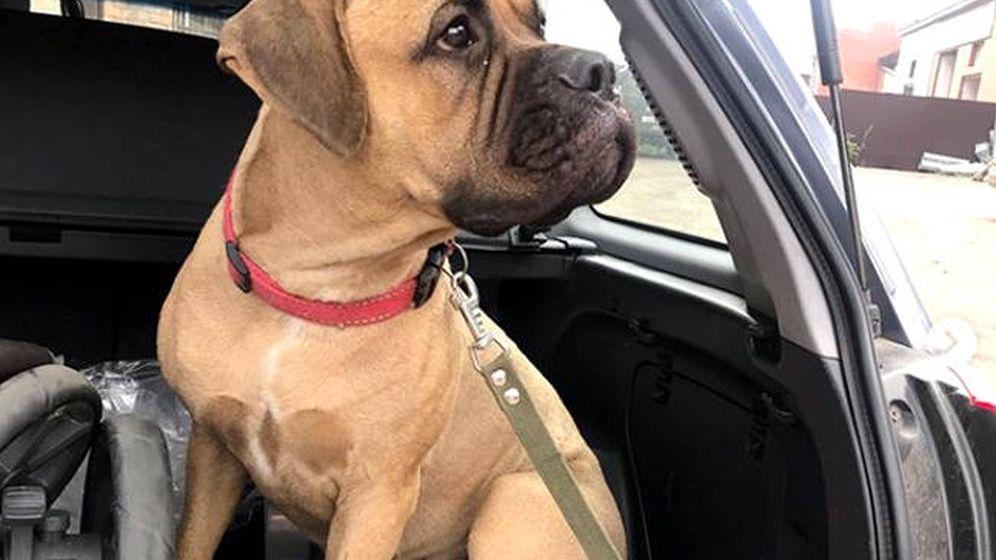 Foto: Maru, un ejemplar de bullmastiff que ha demostrado ser un gran perro fiel (Foto: Instagram)