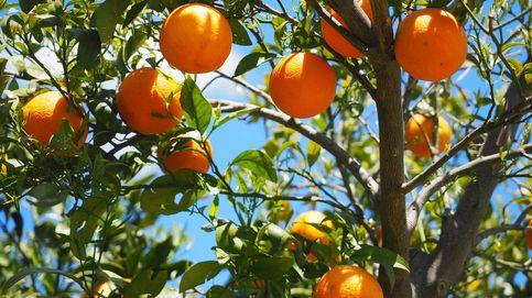 Investigadas 17 personas por la venta de 72.000 kilos de naranjas robadas