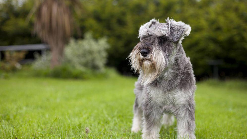 Foto: Un schnauzel, como los perros perdidos en Inglaterra. (iStock)