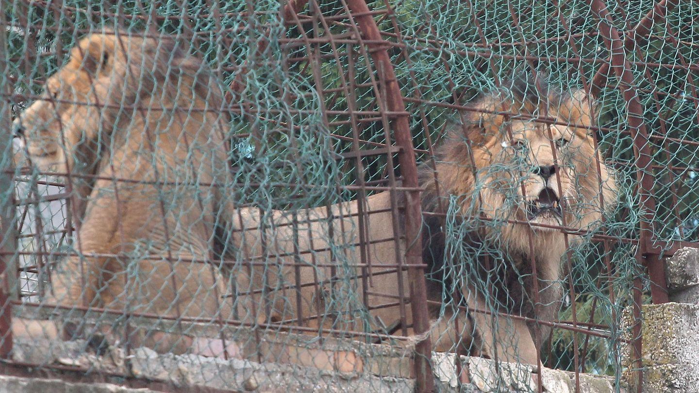Los animales malvivían en jaulas diminutas (EFE EPA/Malton Dibra)