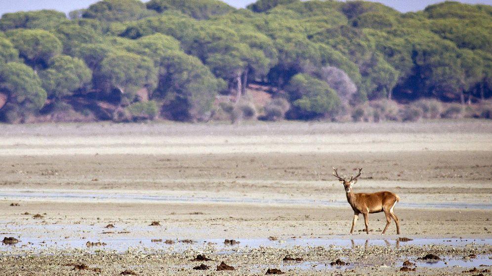 Foto: Un ciervo pasea por las marismas del parque de Doñana, en Huelva. (EFE)