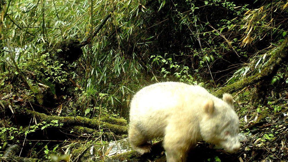 Consiguen imágenes por primera vez de un oso panda albino en China
