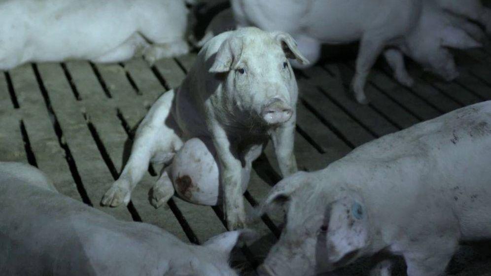 Foto: Cerdos enfermos mostrados por 'Salvados'. (La Sexta)