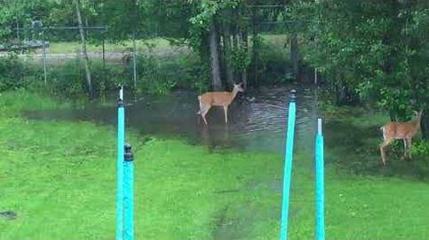 Unos ciervos se cuelan en un jardín de Canadá para jugar en una charca
