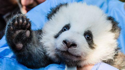 El oso panda ya no es una especie en peligro: China asegura que hay 1.800 ejemplares
