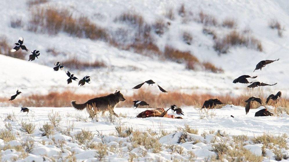 Foto: Los lobos alteraron hasta el comportamiento de los ríos (@StepheneWells)