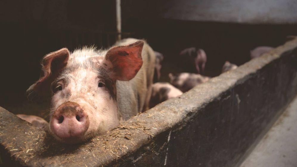 Foto: Un cerdo en una granja. (Pexels)