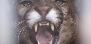 Post de Un hombre sobrevive al ataque de un puma asfixiando al animal hasta matarlo