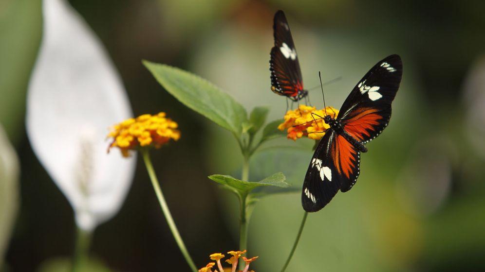 Foto: Mariposas Monarca en México. Foto:  EFE Sáshenka Gutierrez