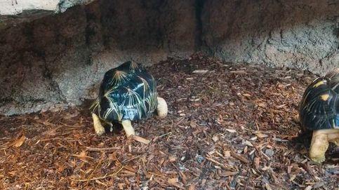 La tortuga que ha conquistado el corazón de las redes sociales con sus bailes