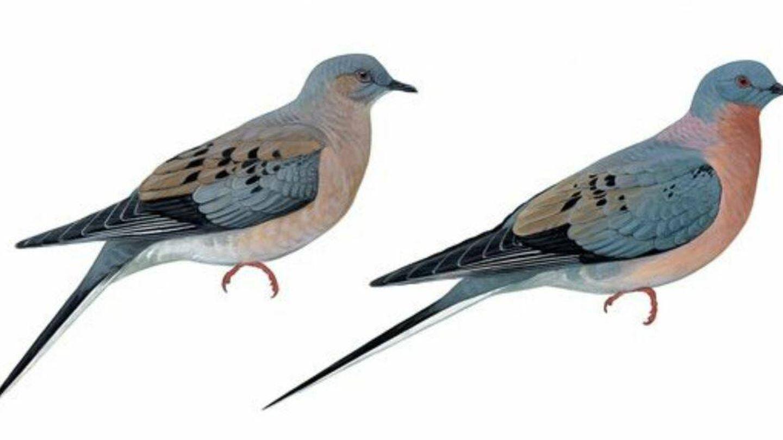 Hembra y macho de paloma migratoria.