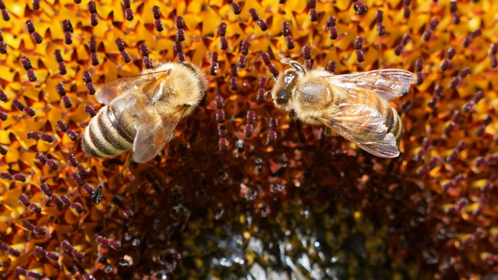 Foto: Las abejas adultas no son las únicas afectadas. Foto: EFE Ronald Wittek