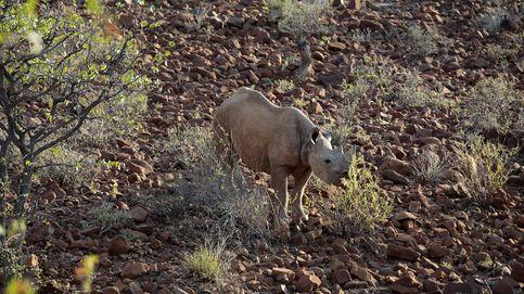 Rinoceronte negro: de 100.000 a 2.000 en menos de un siglo
