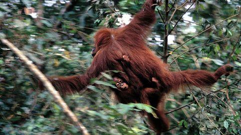 Orangutanes, los 'hombres de la selva'