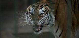 Post de Un tigre en el zoológico del Bronx desarrolla tos seca y da positivo por coronavirus