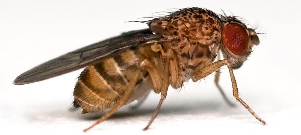 Foto: 'Drosophila melanogaster'