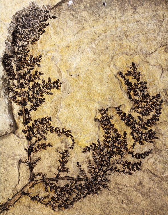 Foto: Fósil de la Montsechia vidalii. Foto: David Dilcher