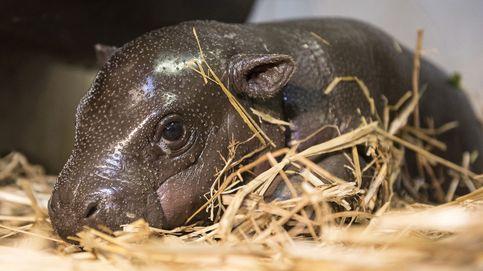 Hipopótamo de dos semanas de edad