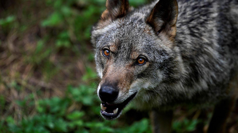 Imagen de archivo de un lobo. (EFE)