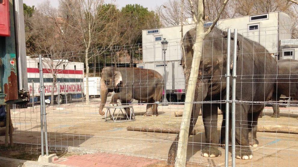 Tres elefantes llevan 26 días en un 'parking' de Las Ventas