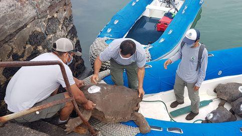 Diego, la tortuga semental de Galápagos, vuelve a casa tras salvar a su especie