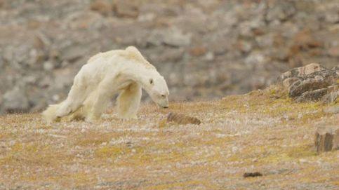 El vídeo del oso polar esquelético: Es una escena que te rompe el alma