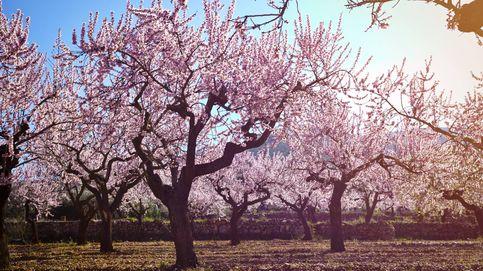 Los siete mejores lugares de España para ver almendros en flor estas semanas