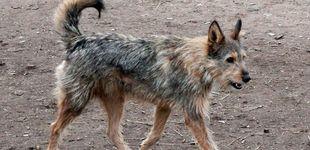 Post de Miles de perros, abandonados en Galicia con la nueva Ley de Bienestar Animal