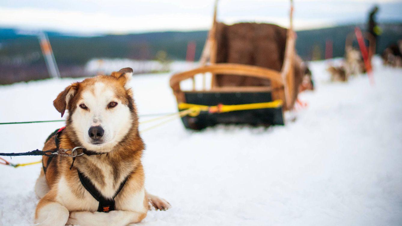 Foto: En Finlandia puedes disfrutar de un paseo en trineo tirado por huskies. (C.Castellón)