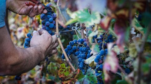 El secreto de la uva francesa: mejores salarios, subsidios familiares y vacaciones