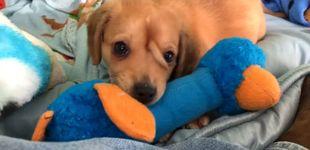 Post de Narwhal, el cachorro con cuerno de unicornio que enamora a internet