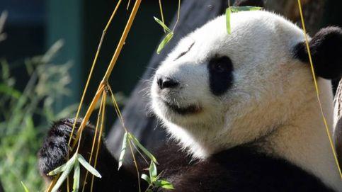 Cómo el zoo de Madrid ha conseguido un bebé panda