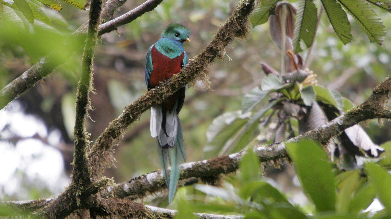 Foto: Quetzal guatemalteco en Costa Rica. Vertiente del Pacífico. (Andoni Canela)
