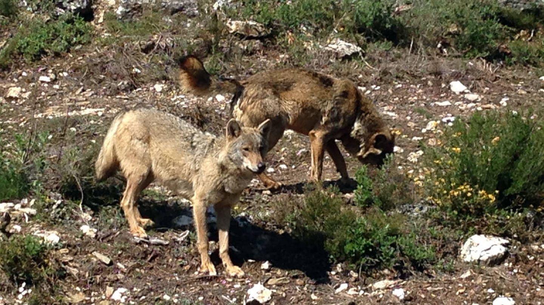 Ejemplares de lobo ibérico. (Jose Luis Gallego)